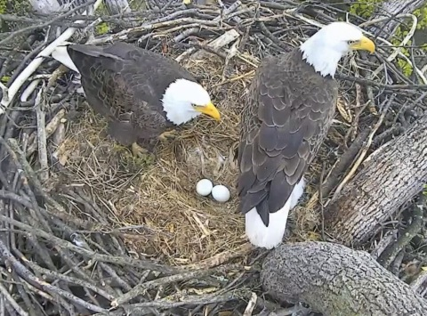 """Mr President"" & ""The First Lady"" expecting the arrival of a baby inside their National Arboretum Nest very soon. Viewers can watch on DCEagleCam.Org. (Photo: Business Wire)"