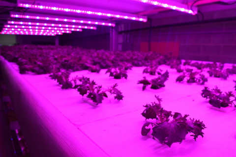 Current by GE horticulture lights in use at Local By Atta Farm (Photo: Business Wire)