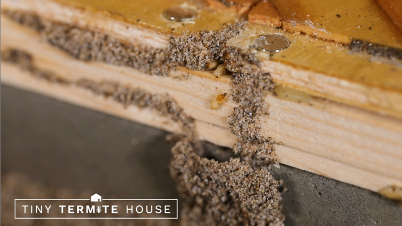 The first trace of damage spotted in the Tiny Termite House was mud tube formations. These pathways are constructed by termites to reach a food source.