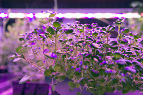 Baby watercress plants under Current by GE Arize (TM) LED lights which deliver a balanced light spectrum to catalyze optimal growth in every plant and shorten the growth cycle for more intensive production. (Photo: Business Wire)