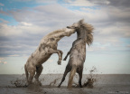 "Grand Prize: STALLIONS PLAYING | CAMARGUE, FRANCE ""The power of the animal kingdom."" Photo by Camille Briottet, Lyon, France."