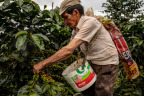 Cenfrocafe co-op farmer harvesting ripe, organic coffee cherries in San Ignacio, Peru. (Photo: Business Wire)