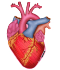 Model of the human heart with microprocessor located in the pericardial sac and attached to the left ventricle. (Graphic: Business Wire)