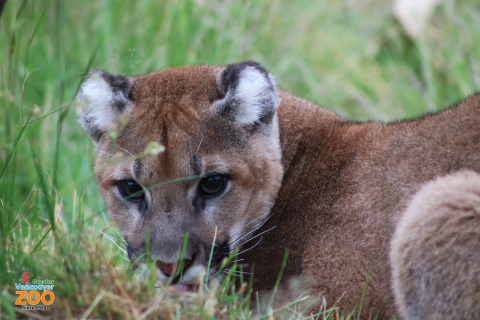 Rocket, the cougar cub. (Photo: Business Wire)