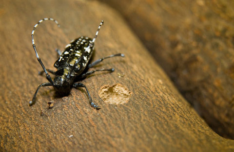 An Asian longhorned beetle and its round exit hole. (Photo credit: USDA)