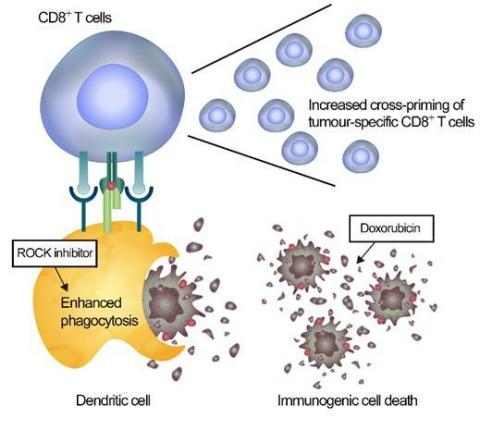 Figure of cancer immunotherapy through immunogenic clearance (Graphic: Business Wire)