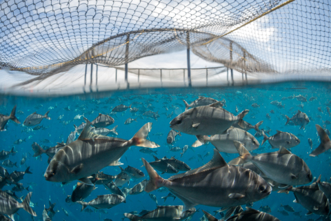 The Kampachi Company's sustainable offshore aquaculture operation raises King Kampachi, a sashimi-grade marine fish. (Photo: Business Wire)