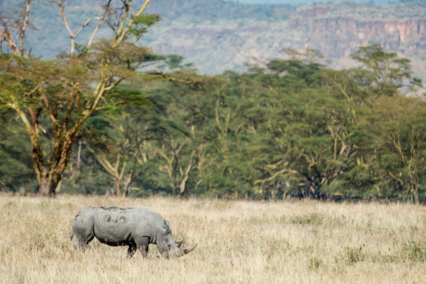 The FLIR and WWF Kifaru Rising Project aims to help protect and grow the wild population of the black rhino. There are currently 5,400 black rhinos in the wild today and their numbers are declining due to poaching for their horns. (Photo: Business Wire)