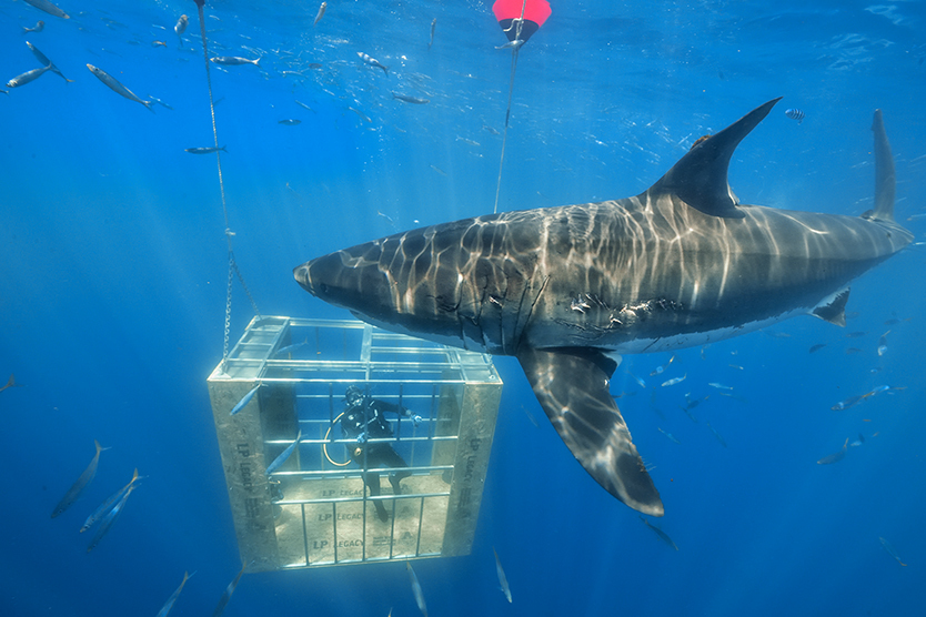 Diving With Great White Sharks Takes Lp Legacy Sub Floor Testing