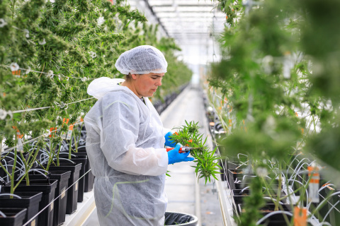 Tilray's EU campus in Portugal successfully harvests medical cannabis (Photo: Business Wire)