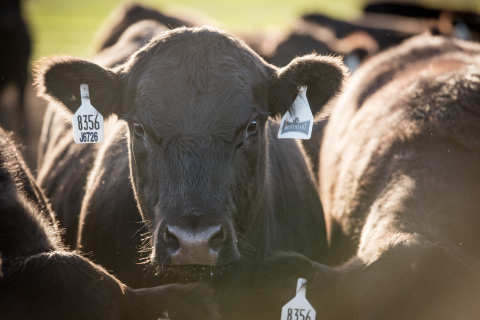 PFG's Braveheart® cattle can be traced from farm to plate using PathProven® technology. (Photo: Perf ...