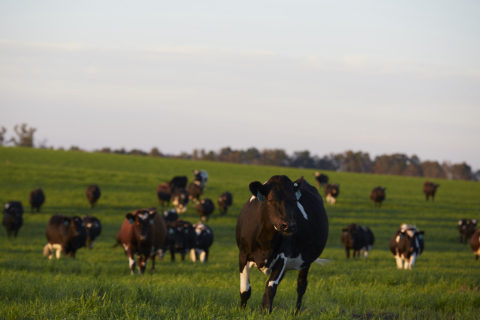 Located near Augusta, Georgia, Hart Dairy sits on more than 4,000 acres of pristine farmland and is the largest single-source producer of 100 percent free-range, grass-fed milk in North America. (Photo:Business Wire)