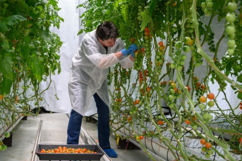 Researchers at Wageningen University study tomato production under Fluence LED lighting (Photo: Business Wire)