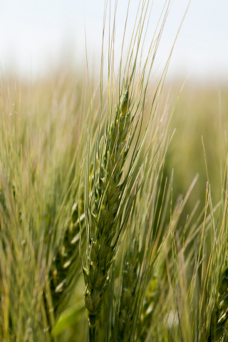 'MN-Washburn' wheat is the newest variety from the University of Minnesota's hard red spring wheat breeding program. It is named after the Washburn A flour mill which helped Minneapolis earn the nickname, The Mill City. (Photo: Business Wire)