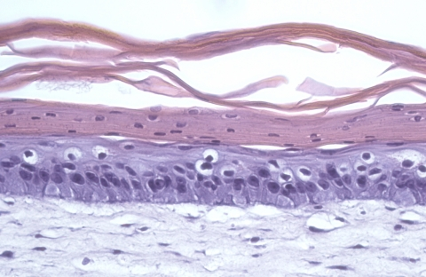 Hematoxylin and Eosin staining of the full-thickness human skin produced in our Skin-Chip, demonstrating characteristic architecture of human skin. (Photo: Emulate, Inc.)
