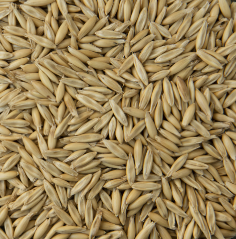'MN-Pearl' oat is the latest variety from the University of Minnesota's oat breeding program and was developed in collaboration with the University of Saskatchewan. A high-yielding variety, MN-Pearl's name reflects its pearly-white hull, a trait often desired by millers. (Photo: Business Wire)