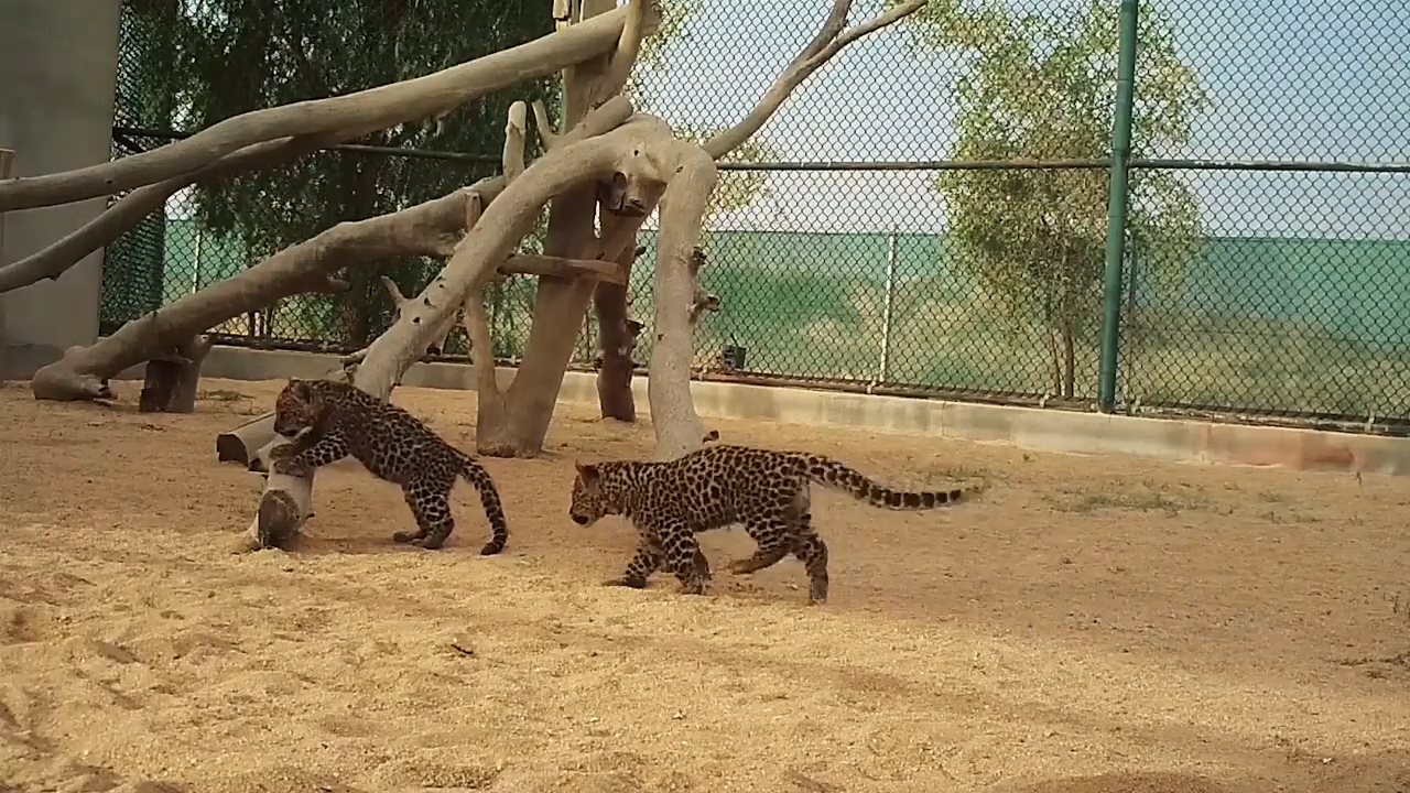 It looked so much easier when Mum did it! Saudi Arabia's newest Arabian leopard cubs discover tree climbing is harder than it looks as their mother Hamms watches proudly and the Royal Commission for AlUla welcomes them to the world. ©The Royal Commission for AlUla (Video: AETOSWire).