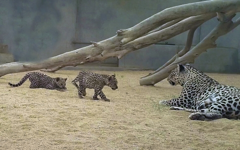When you're 3 months old, there is nothing more exciting than playtime! That's just what these Arabian Leopard cubs, born in Saudi Arabia are finding out and The Royal Commission for AlUla couldn't be prouder to introduce them to the world. © The Royal Commission for AlUla (Photo: AETOSWire)