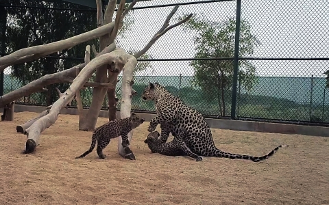 Saudi Arabia's two young and curious Arabian leopard cubs prepare for their next life lesson from their mother Hamms, as the Royal Commission for AlUla proudly introduces them to the world. © The Royal Commission for AlUla (Photo: AETOSWire)
