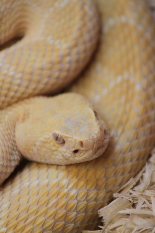 Albino Western Diamondback Rattlesnake, one of the snake species guests will experience at Sidewinder Safari, Six Flags Discovery Kingdom's 12th roller coaster. (Photo: Business Wire)