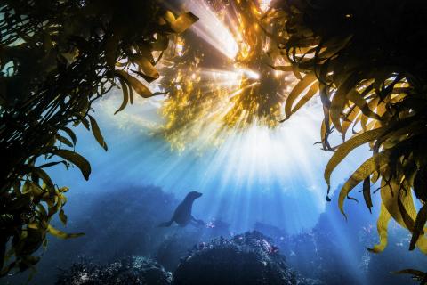California sea lion (Zalophus californianus) framed by kelp beds in Monterey Bay, California (Tyler Schiffman, USA)