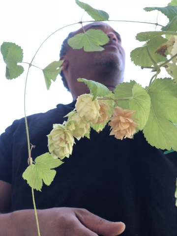 James Peters, ImmunAG Production Manager, inspecting Kriya® brand Humulus plants in California, USA. (Photo: Business Wire)