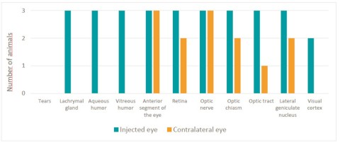 Figure 1: Presence of GS010 DNA in the visual and cerebral systems of test monkeys (Graphic: Business Wire)