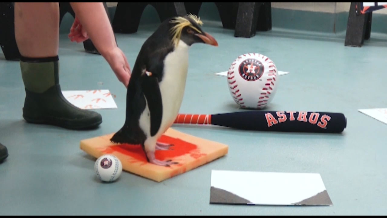 Penguins at Moody Gardens Aquarium Pyramid run the bases in preparation for Game 3 of the World Series as the penguins named Springer and Astro weigh in as sports commentators.