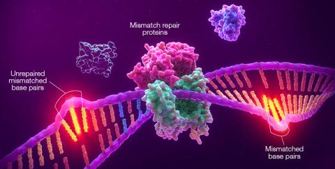 Promega Corporation与默克(美国和加拿大以外称为默沙东)达成一项全球合作,开发Promega的微卫星不稳定(MSI)技术作为一种载入说明书的实体瘤伴侣诊断试剂(CDx),与默克的抗PD-1治疗药物可瑞达®(帕博利珠单抗)搭配使用。上图为MSI图示,显示错配修复系统缺陷(dMMR)导致的微卫星区段未修复的错配。(图示:美国商业资讯)