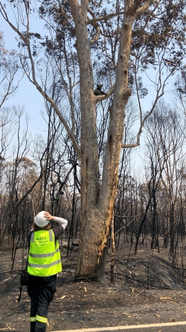A WIRES volunteer is seen rescuing a Koala, alone amidst burned habitat. Photo courtesy of WIRES (NSW Wildlife Information, Rescue and Education Service Inc.)