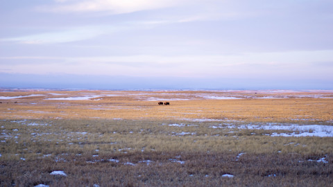 Bison graze on the Buffalo Gap National Grasslands, just north of the Pine Ridge Reservation. Photo: Arlo Iron Cloud
