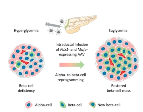 Genprex's licensed diabetes gene therapy technology works to reprogram alpha cells in the pancreas into beta-like cells, restoring their function, thereby replenishing levels of insulin. Image source: Osipovich, Anna & Magnuson, Mark. (2018). Alpha to Beta Cell Reprogramming: Stepping toward a New Treatment for Diabetes. Cell Stem Cell. 22. 12-13. 10.1016/j.stem.2017.12.012. (Graphic: Business Wire)