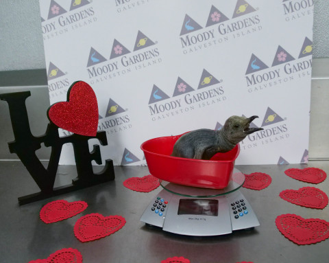 Keepers give new Valentine penguin chick and parents solace as love gets complicated in the penguin exhibit at Moody Gardens Aquarium Pyramid in Galveston, TX. (Photo: Business Wire)