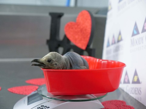 Love is complicated as a new Valentine penguin chick seeks solace in a busy breeding season at Moody Gardens Aquarium Pyramid in Galveston, TX. (Photo: Business Wire)