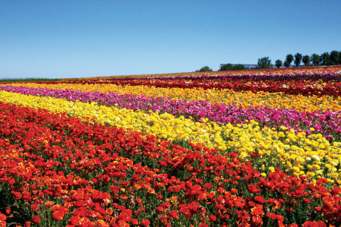 The Flower Fields at Carlsbad Ranch (Photo: Business Wire)