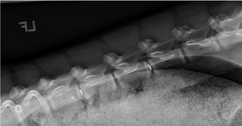 Radiograph from Animal Study Experiment (Photo: Business Wire)