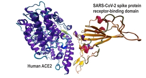 Interaction of SARS-CoV-2 spike protein receptor-binding domain with Human ACE2. (Graphic: Business Wire)