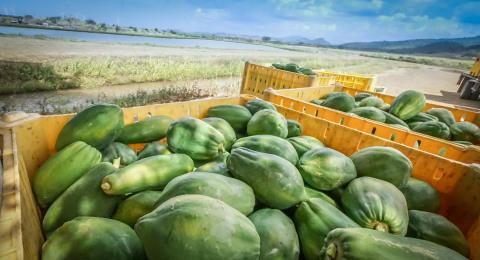 Papaya farm in Santa Isabel, Puerto Rico (Photo: Business Wire)