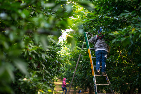 Workers can social distance while picking this year's cherry crop now harvesting in California. (Photo: Business Wire)