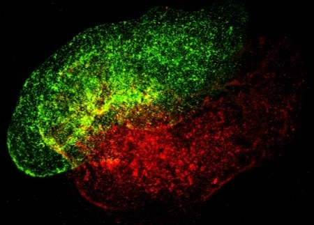 Human immune cells in a synthetic lymph node produced by Prellis Biologics. (Prellis Biologics)