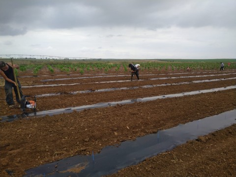 Cultivation team in Aljustrel, Portugal transplanting high-THC clones. (Photo: Business Wire)