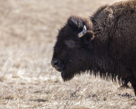 New Partnership to Support the Growth of TANKA and Bring Bison Back to the Lands, Lives and Economy of Native American People (Photo: Business Wire)