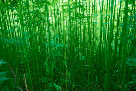 Hemp plants for industrial fiber resemble bamboo stalks (Photo: Business Wire)
