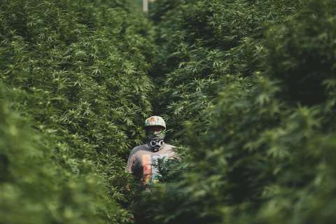 Figure 1: Image captured at our six-acre outdoor East Evans Creek grow site (Photo: Business Wire)