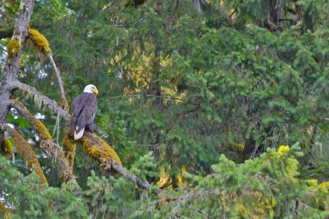 A bald eagle rests on a decaying branch in the Rowan family's 190-acre forest. Photograph taken by Ian Rowan.