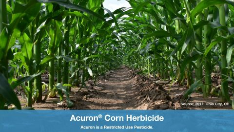 A corn row in Ohio City, OH, remains free of tough and yield-robbing weeds 43 days after an application of Acuron herbicide at the full labeled rate (3 qt/A) and glyphosate (32 fl oz/A). (Photo: Syngenta)