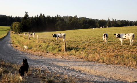 Dairy cows in a field at Staehely Valley Veue Dairy in Oregon City, OR. (Photo: Business Wire)