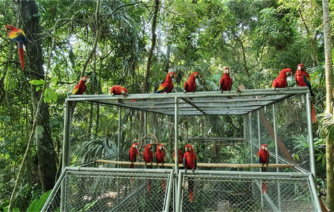 Picture by WCS Guatemala - Release of 26 Young Scarlet Macaws into Guatemala's Maya Biosphere Reserve. The release was carried out thanks to the joint effort of AgroAmerica, Wildlife Conservation Society (WCS), Fundación Solidaridad Latinoamericana, and the National Council of Protected Areas of Guatemala. (Photo: Business Wire)