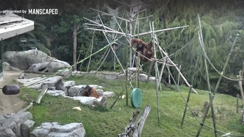 A still shot of the Ape Cam's live stream shows some fun morning happenings in the Zoo's Lost Forest habitat where the orangutans and siamangs swing, mingle, and simply hang out. (Photo: Business Wire)