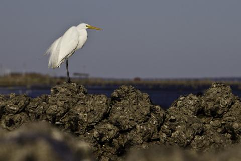 The Nature Conservancy schützt in Partnerschaft mit Mary Kay die biologische Vielfalt und die Meeresressourcen durch die Wiederansiedlung der einheimischen europäischen Auster. (Bildnachweis: © Erika Nortemann)